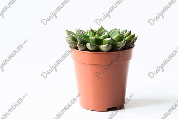 Succulent in pot on white background.