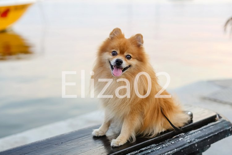 A small dog of the Pomeranian breed is sitting on the street example image 1