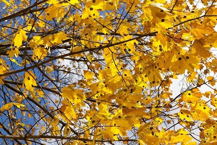 orange maple leaves in the autumn season example image 1