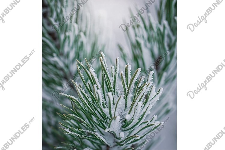 Stock Photo - Fir branch in snow on a frosty winter day example image 1