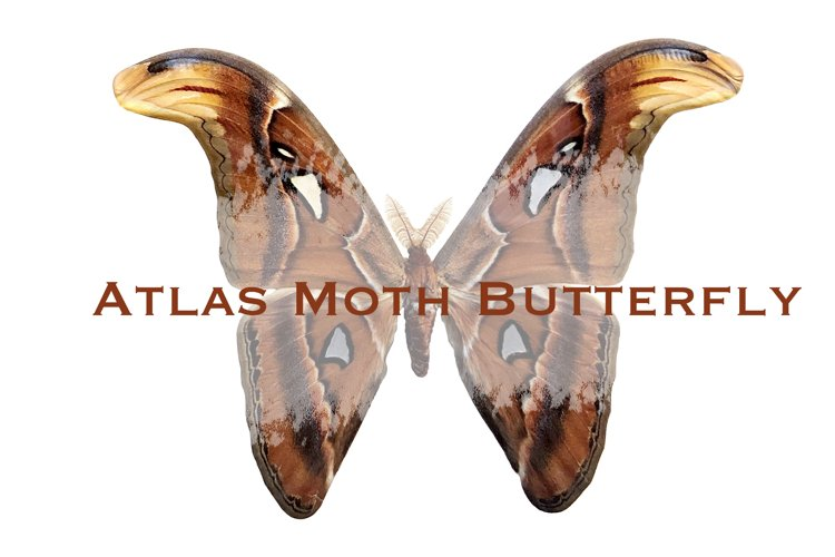 Atlas moth butterfly isolated on transparent background