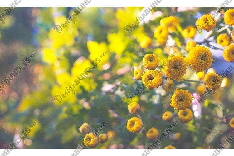 Yellow autumn chrysanthemums example image 1