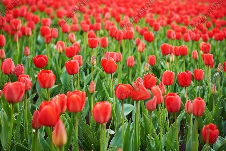 Field of beautiful red tulips in spring time example image 1