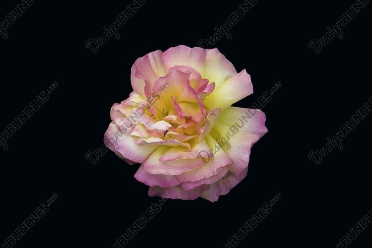Lush yellow rose flower on black isolated background. example image 1