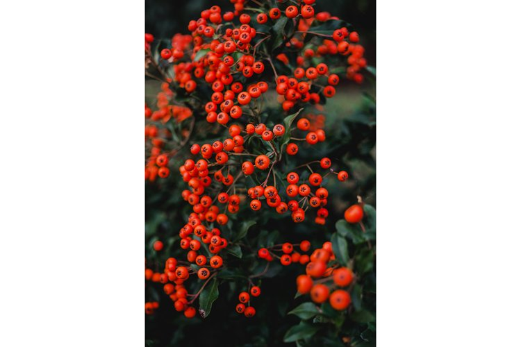 Bright yellow autumn berries of a pyracantha bush example image 1