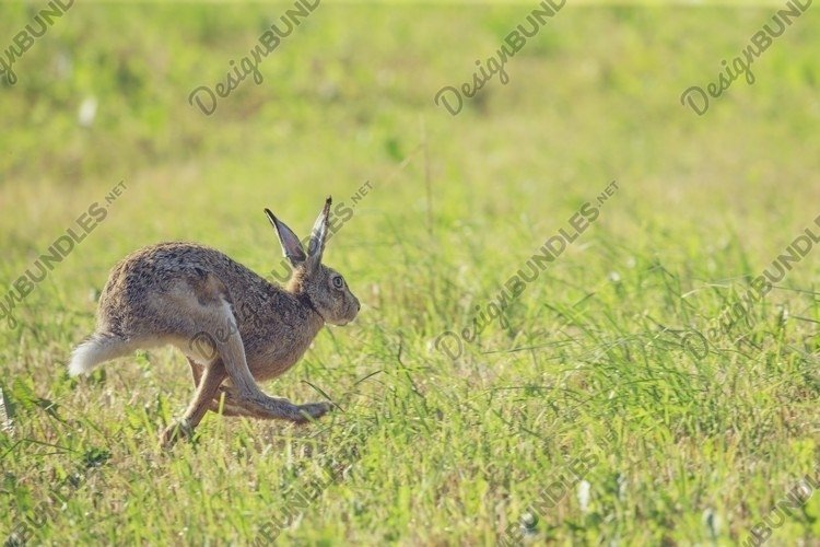close-up of gray hare sitting on a clearing of green grass example image 1