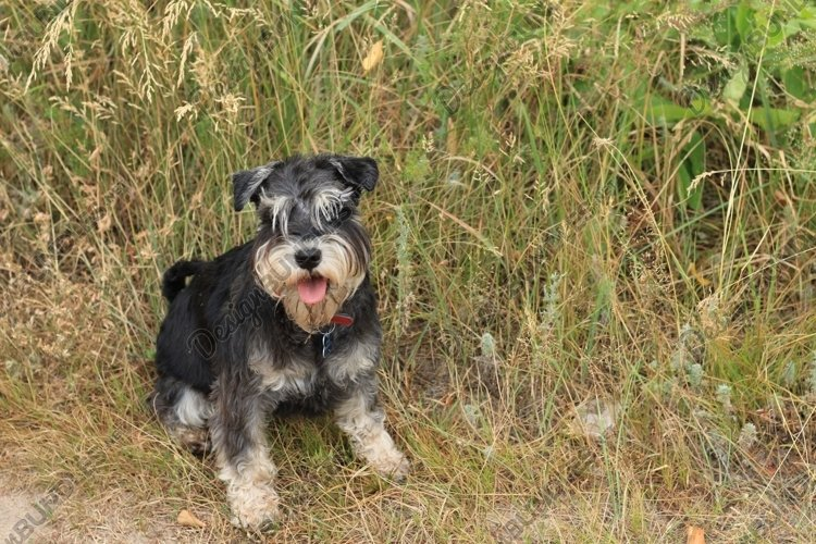 miniature Schnauzer on the background of meadow grass example image 1