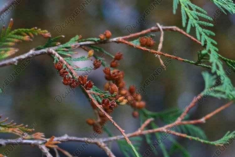 Small cedar cones example image 1