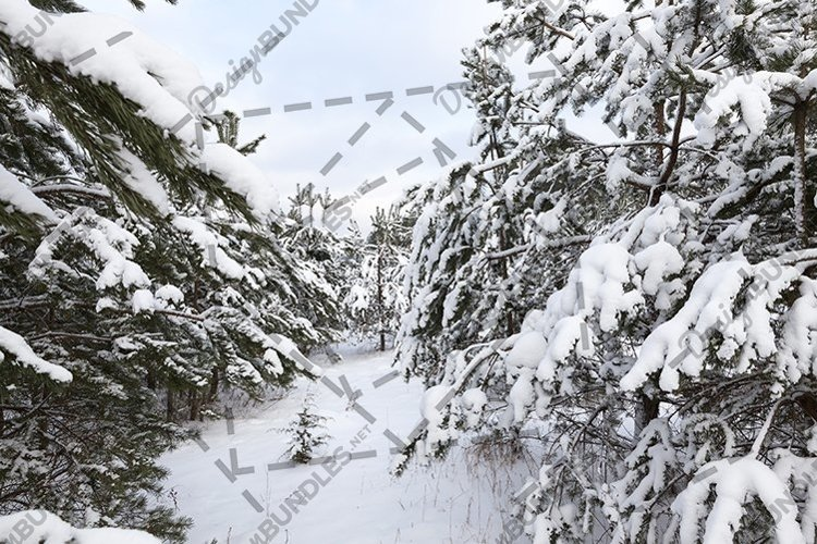 pine under snow example image 1