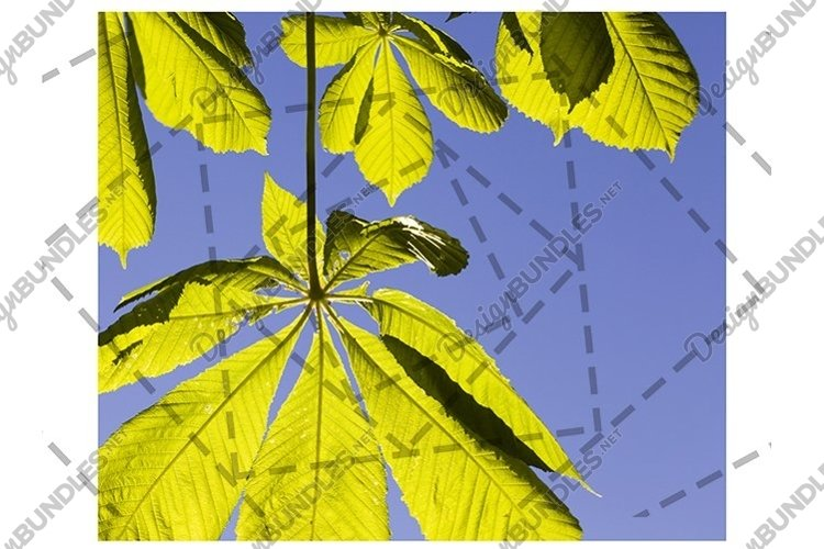chestnut leaves example image 1