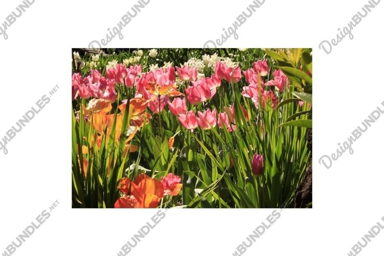 Photo of the flower of Tulips Tulipa example image 1