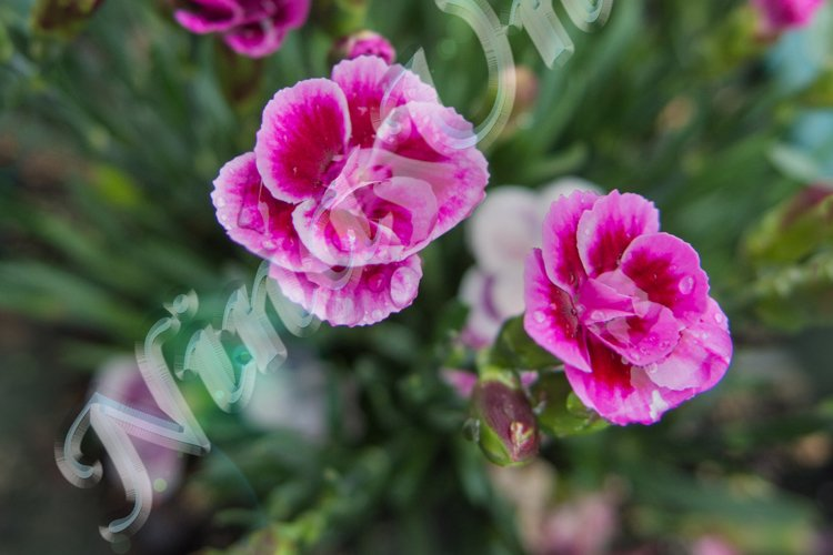 Flowers of Pink Kisses, bush of Dianthus caryophyllus example image 1