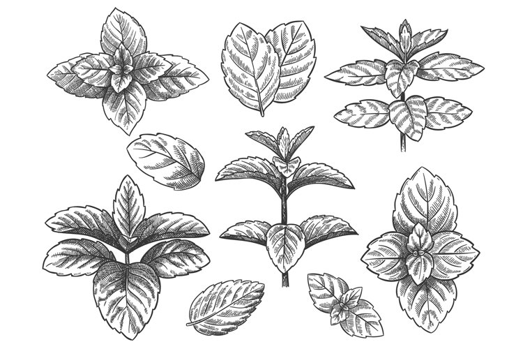 Engraved mint leaves. Sketch peppermint herb, spearmint plan example image 1