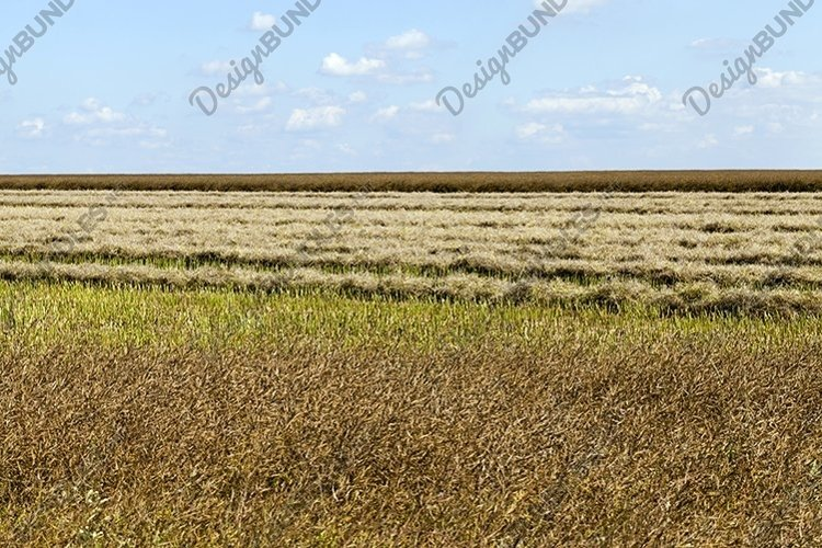 new ripe cereal crop example image 1
