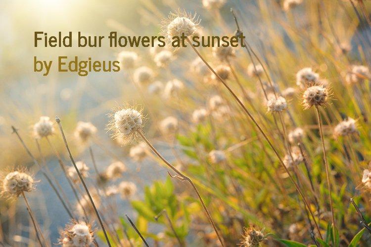 Field bur flowers at sunset
