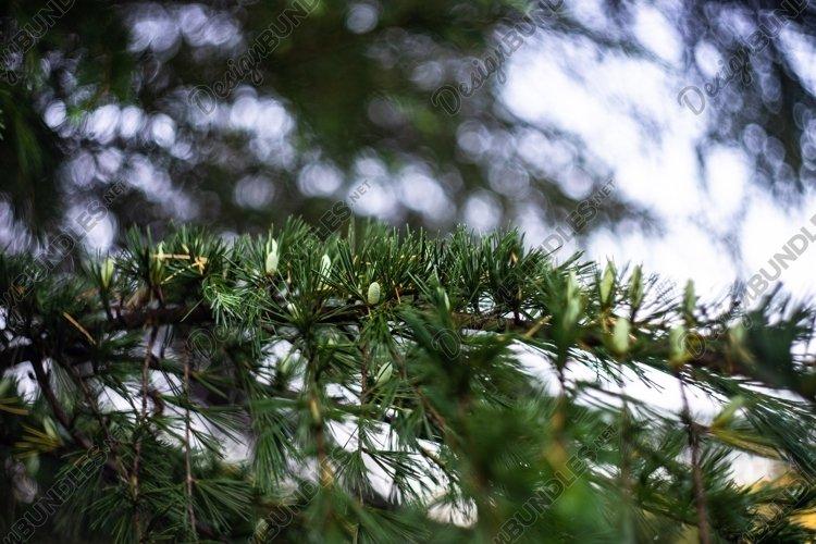 Pine tree with cones example image 1