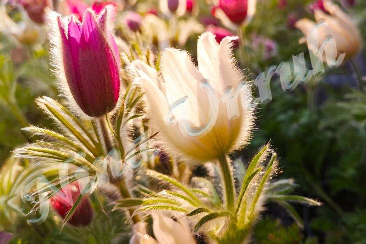 Two beautiful flowers of Pulsatilla vulgaris example image 1