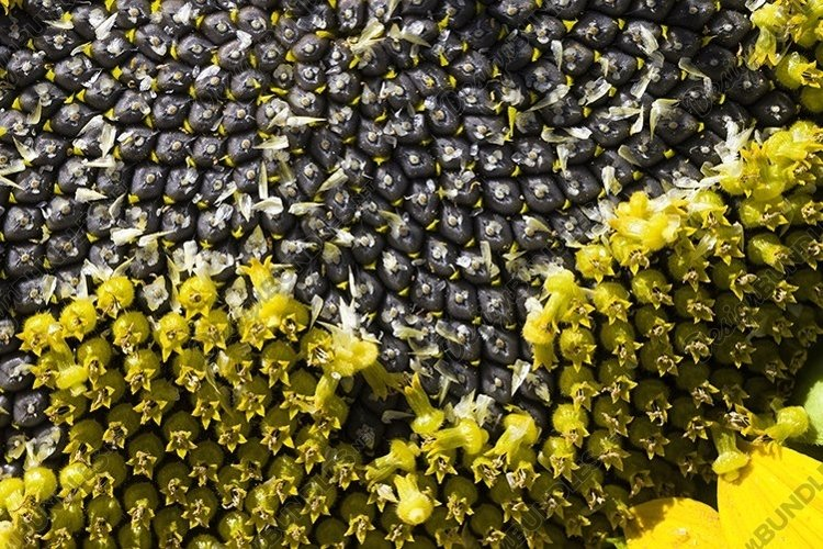 ripened sunflower with black seeds example image 1