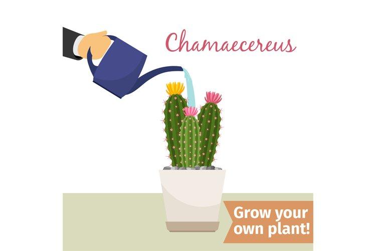 Hand watering chamaecereus plant example image 1