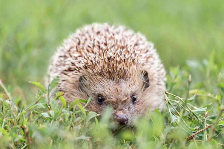 hedgehog on the grass example image 1