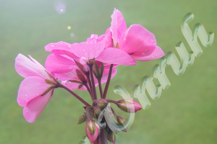 Flower of pink Pelargonium graveolens with buds example image 1