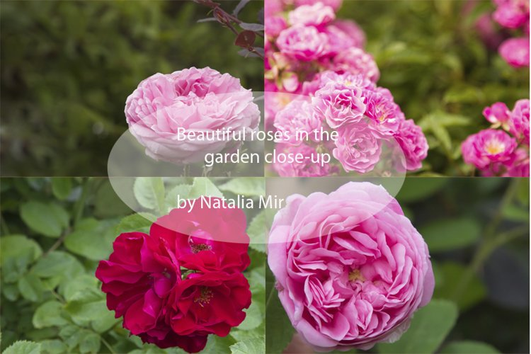 Beautiful roses in the garden close up 4 jpg files. example image 1