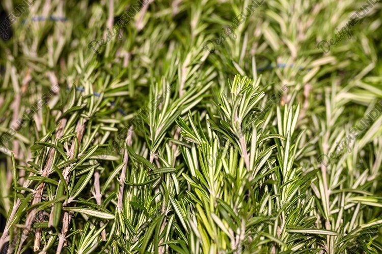 rosemary bunches of aromatic herbs cooking seasoning example image 1