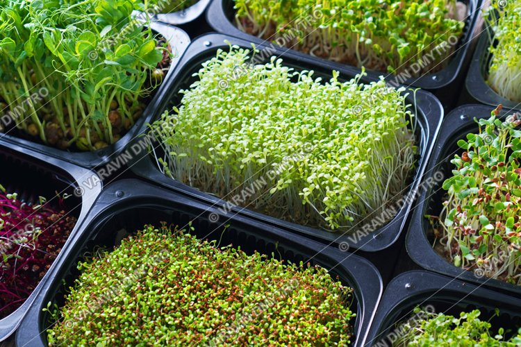 Set of microgreen sprouts in a trays example image 1