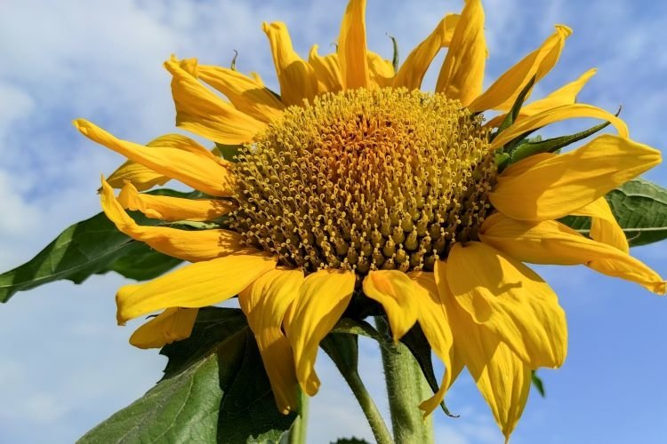 Summer banner with sunflowers. Blue sky with copy space. example image 1