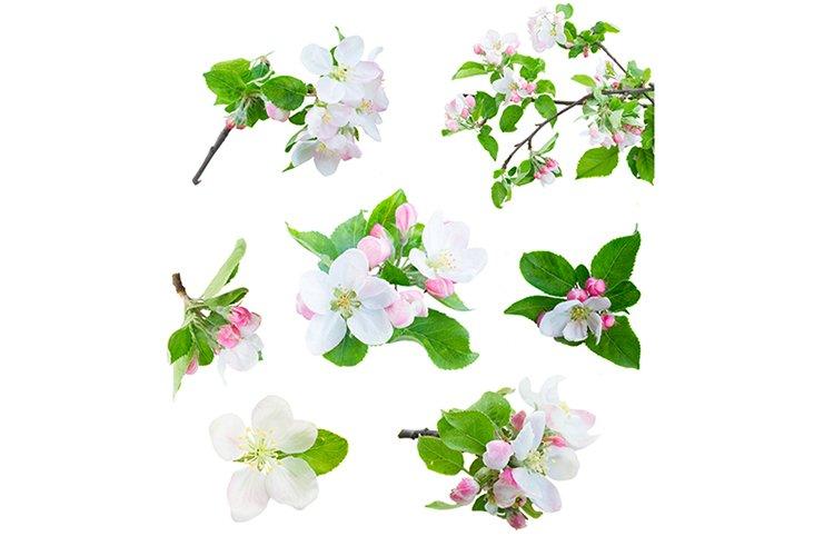 Set of apple tree flowers blossom