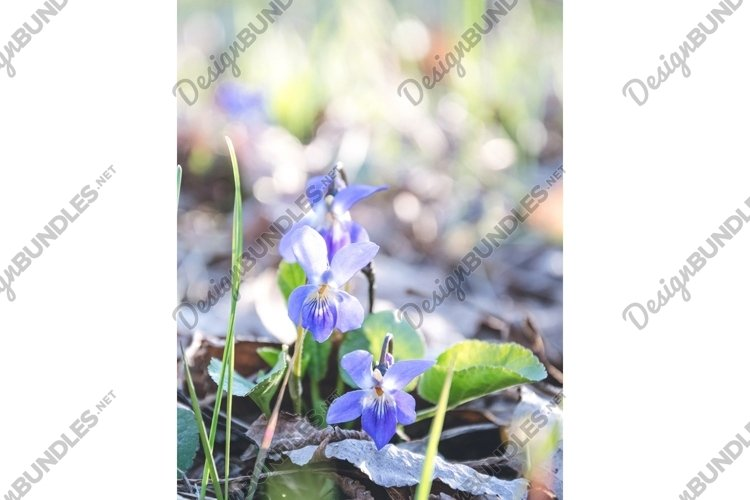 Delicate blue forest violets. Spring easter card example image 1