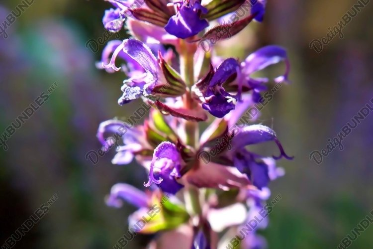 Sage Purple flower Macro photography example