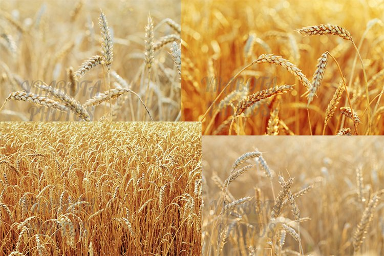 Gold wheat on field, natural scene, collection example image 1