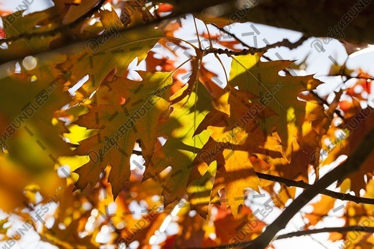 red foliage trees in the oak example image 1
