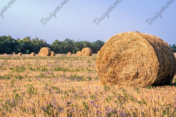 Dry haystacks on an agricultural field example image 1