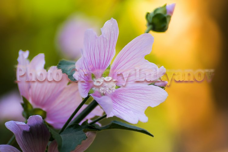 Stock Photo - Bright crimson mallow flowers example image 1
