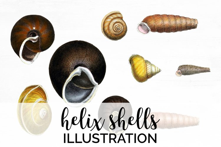 Shells Clipart Helix example image 1