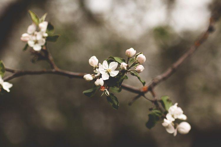 Delicate white Apple blossom in the spring garden