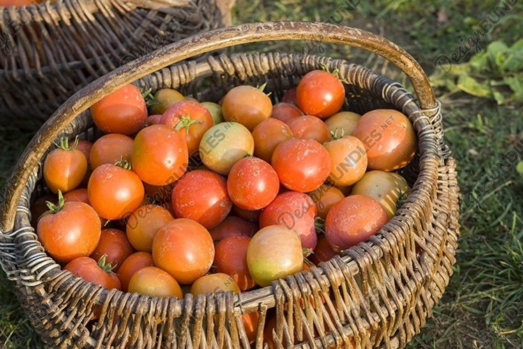 fresh harvest red tomatoes