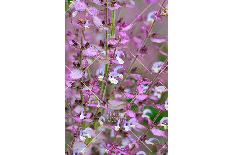 Salvia sclarea flowers closeup