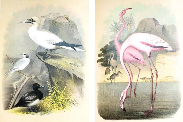 Two Ornithological Vintage Bird Illustrations